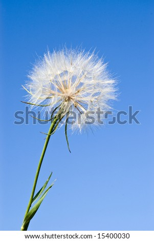 dandelion against clear blue sky