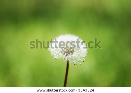Dandelion against green background in  bright summer day