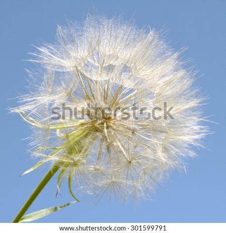 dandelion against the sky - stock photo