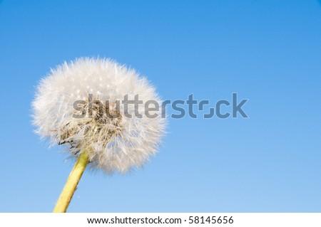 Dandelion and blue sky - stock photo