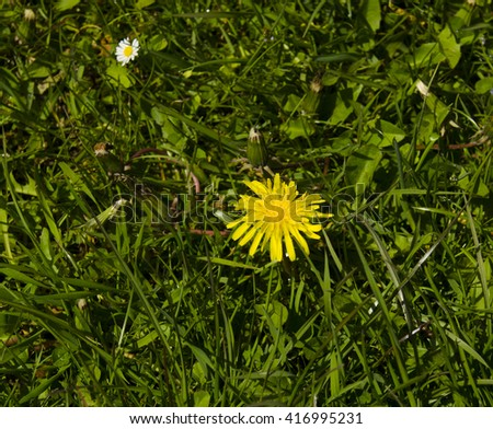 Dandelion and daisy flowers in green grass. Summer nature wallpaper - stock photo