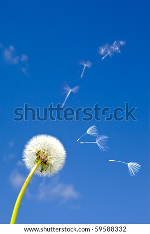 Dandelion and flying away fuzzes - stock photo