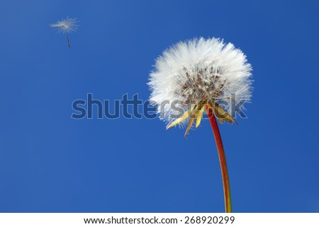 Dandelion and lonely flying seed on a clear blue sky background.  Close up. - stock photo