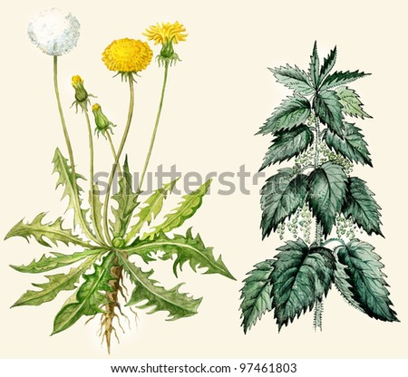 Dandelion and nettle watercolor illustration hand painted in vintage manner. Isolated on buff background.