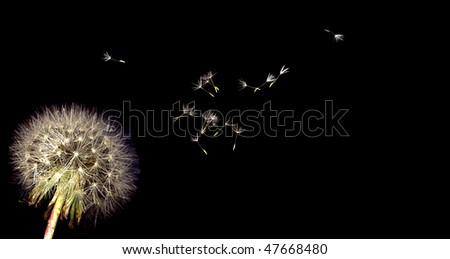 dandelion and seeds - stock photo
