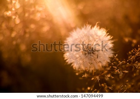 Dandelion at golden sunset - stock photo