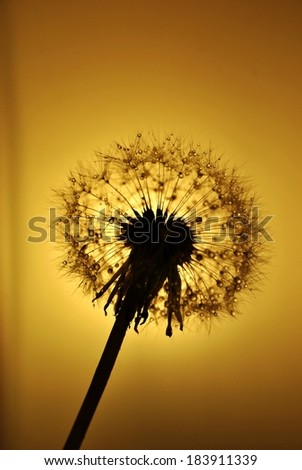Dandelion at sun - stock photo