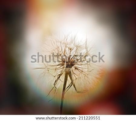 Dandelion - beautiful dandelion seeds (dandelion flower head) - stock photo