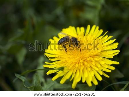 dandelion bee - stock photo