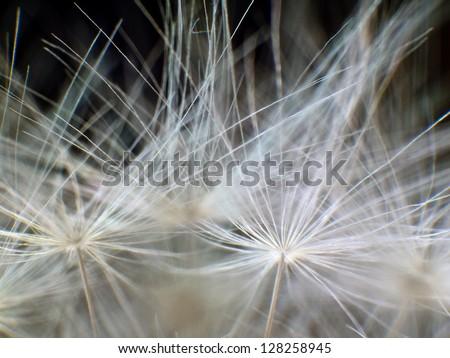 Dandelion black background - stock photo
