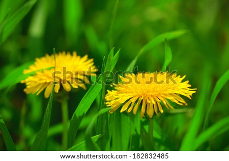 Dandelion blossom in spring on the meadow - stock photo