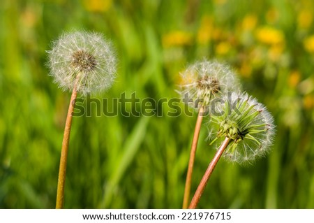 Dandelion blowers, Meadow  in Poland