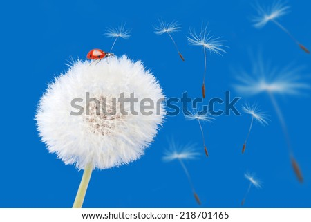 Dandelion blowing and ladybird isolated on blue. Flower and ladybird. Summer background - stock photo