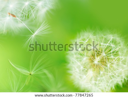 Dandelion breaking free - stock photo