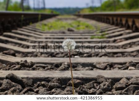 Dandelion bright meadow  - stock photo