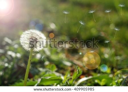 Dandelion clock dispersing seed - stock photo
