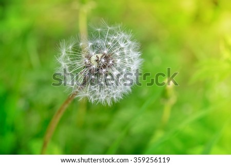 Dandelion clock in the grass on sunny day. Freedom wish concept. Greeting card - stock photo