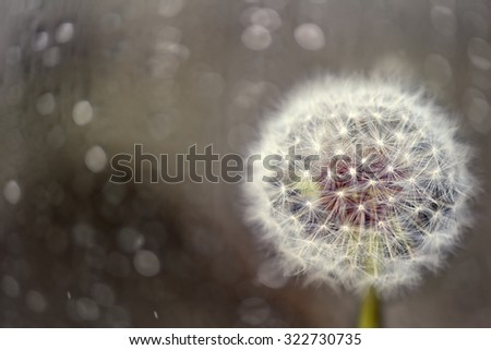 Dandelion Clock Seed Head with magical blurred background - stock photo