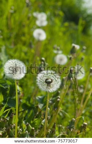 Dandelion clocks in a field - stock photo