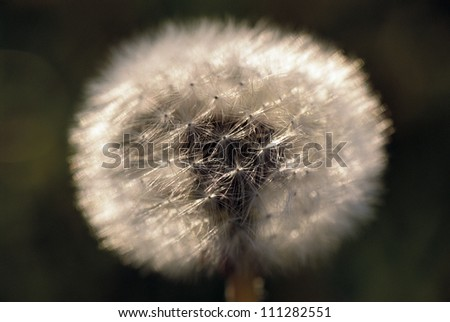 Dandelion, close-up