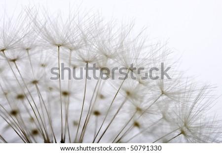 dandelion close up - stock photo