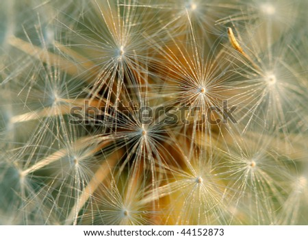 Dandelion close up. Abstract background.