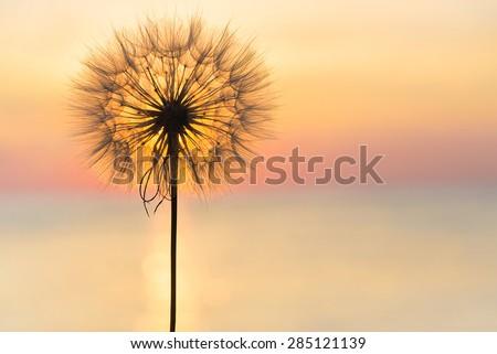 Dandelion close-up silhouette against sunset sky, meditative zen background - stock photo