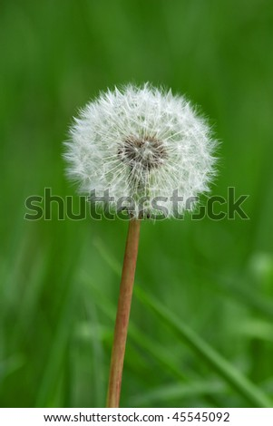 Dandelion closeup (narrow depth of field) - stock photo