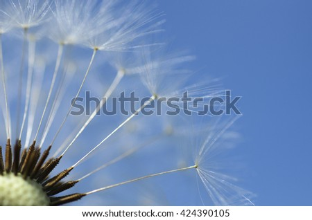 Dandelion, Dandelions flower, Seeds of dandelion