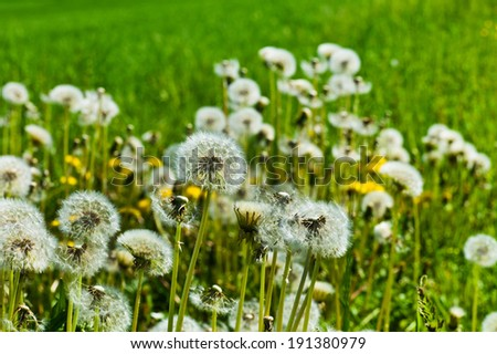 dandelion, dandelions, symbol photo for volatility, lightness and spring - stock photo