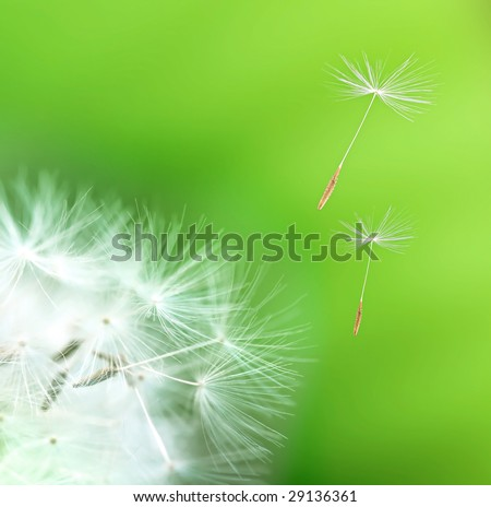 dandelion detail isolated on green background