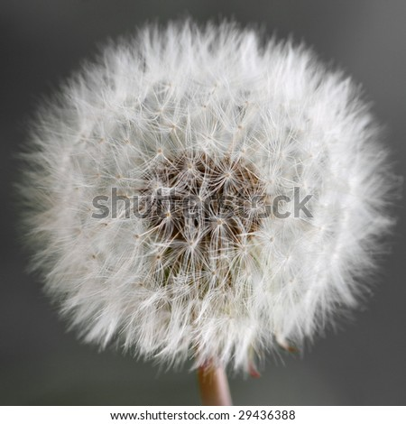 dandelion detail isolated on grey background - stock photo