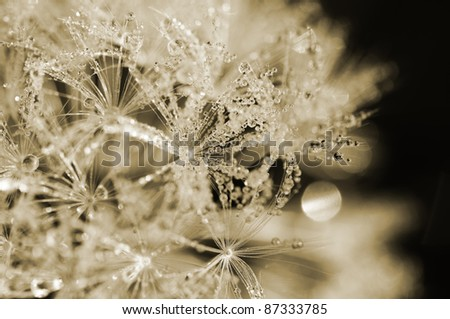 Dandelion - dewdrop - colored - stock photo