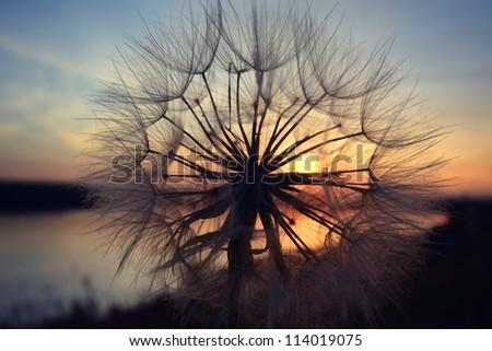 Dandelion during sunset - stock photo