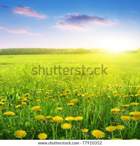 Dandelion field and beautiful sunset. - stock photo