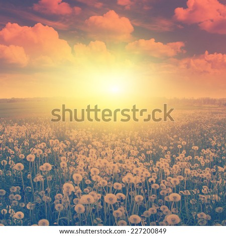 Dandelion field at sunset in vintage style. - stock photo