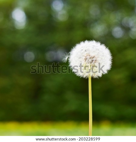 Dandelion flower against the green nature background, shallow depth of field - stock photo