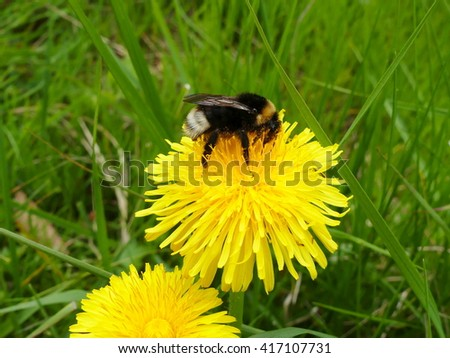 dandelion flower and  bumblebee - stock photo