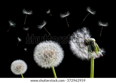 Dandelion flower and flying seeds on black background.