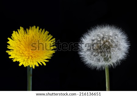 Dandelion flower and seed head on a black background - stock photo