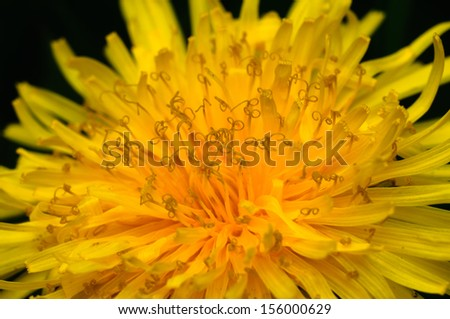 Dandelion flower closeup - stock photo