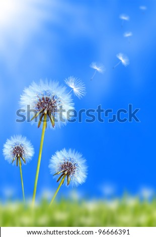 Dandelion flower field over blue sky - stock photo