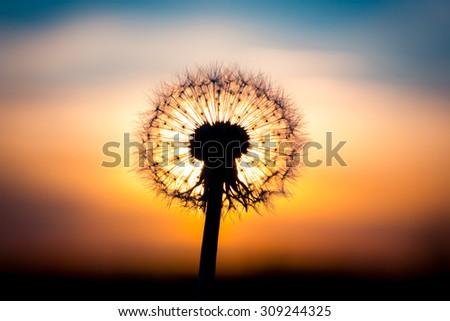 Dandelion flower fused with sunset looking like a bulb - stock photo