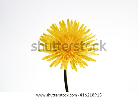 Dandelion flower isolated on white background