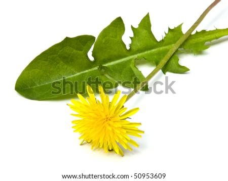 Dandelion flower isolated on white background. - stock photo