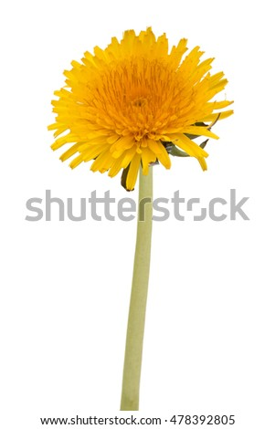 Dandelion flower isolated on white background cutout