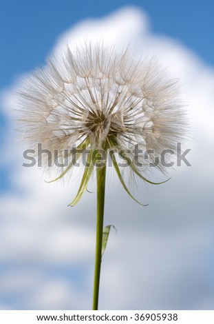 Dandelion flower on a background of blue sky