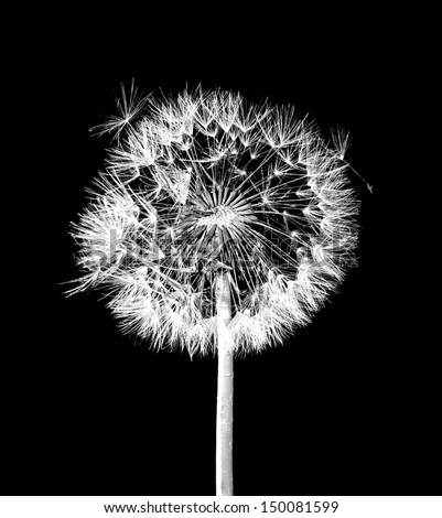 Dandelion flower on black background - stock photo