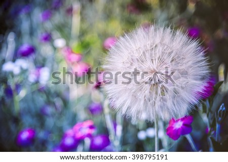 Dandelion flower on colorful nature background/Dandelion flower - stock photo