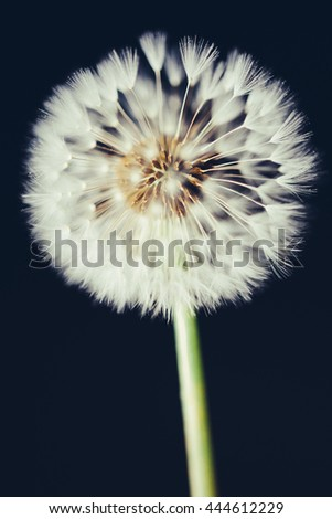 dandelion flower on dark background - stock photo